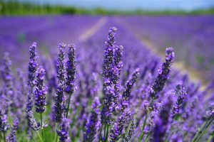 aroma blooming lavender close up 207518 300x200 1